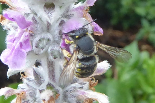 bee on stachys flower