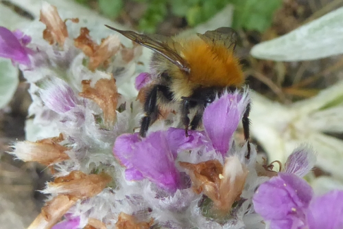 bee on stachys