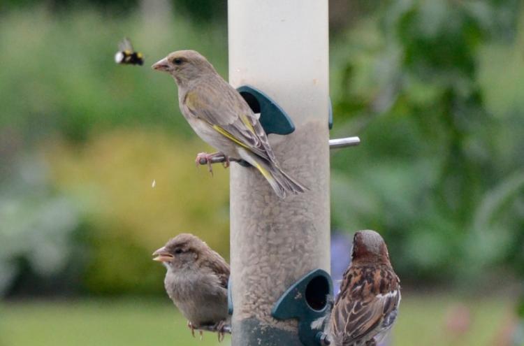 bee passing birds on feeder