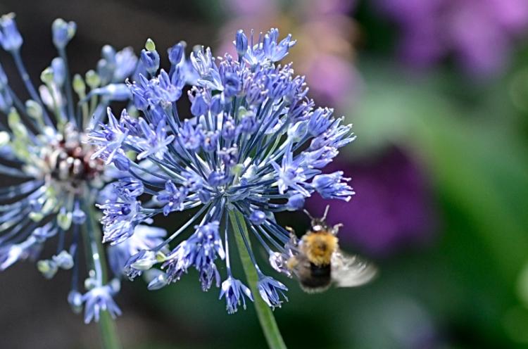 bee visiting blue allium