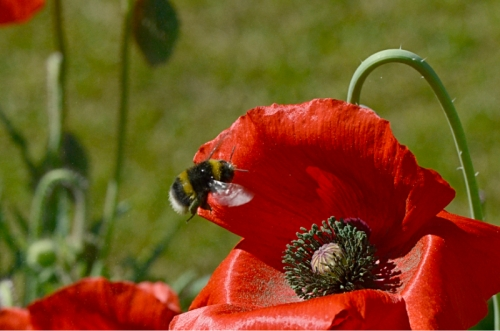 bee visiting red poppy