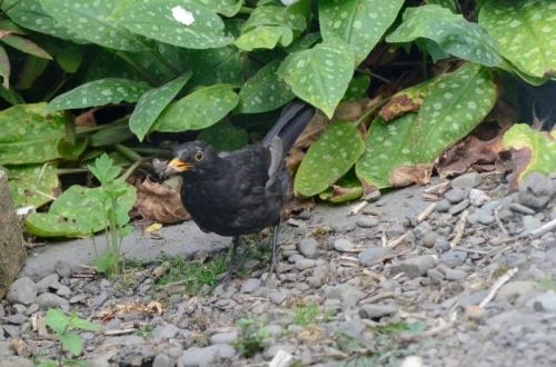 blackbird with grey