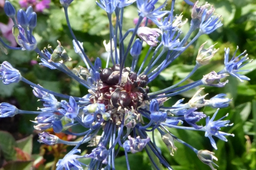 blue allium going over