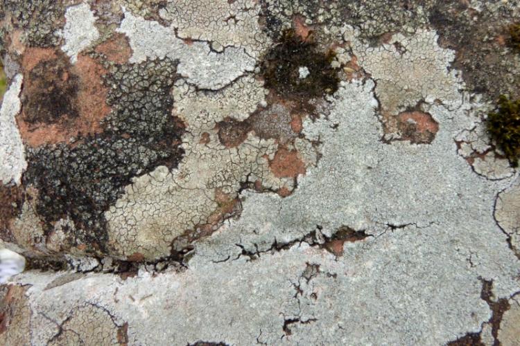 Brydekirk lichen