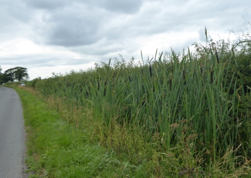 bullrushes at scaleby