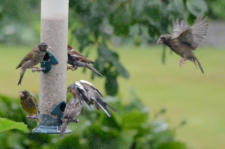 busy feeder wet day