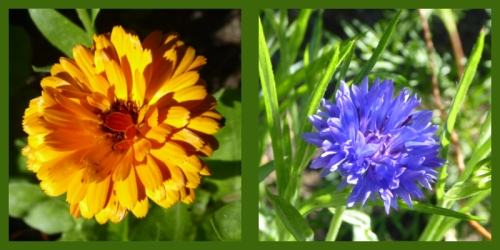 calendula and cornflower
