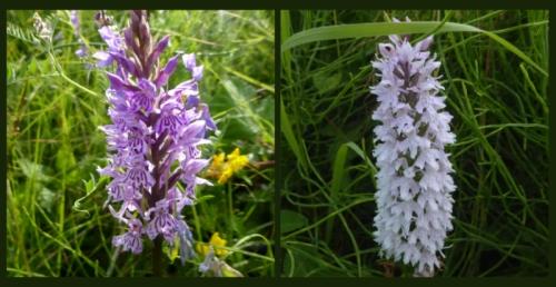 canonbie orchids