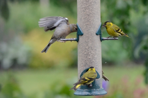 chaffinch and siskins
