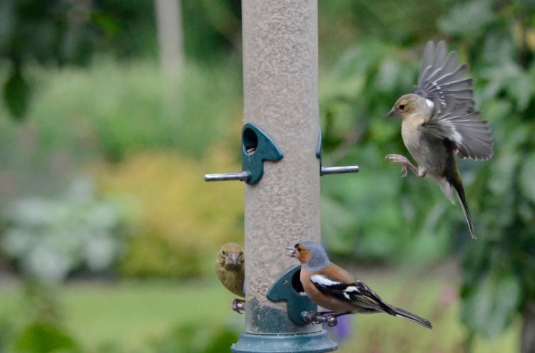 chaffinch flying in