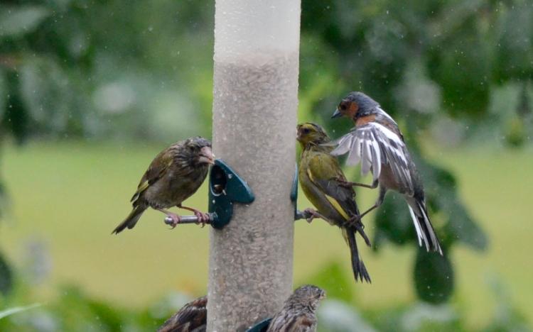 chaffinch kicking greenfinch 1