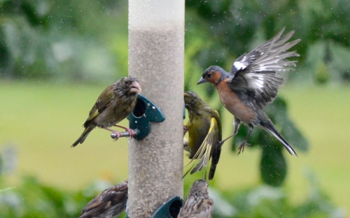 chaffinch kicking greenfinch 2