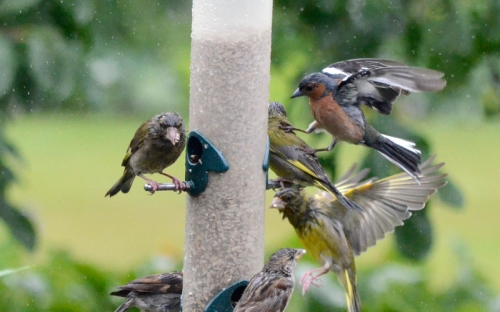 chaffinch kicking greenfinch 3