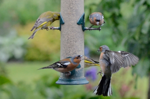 chaffinch shouting