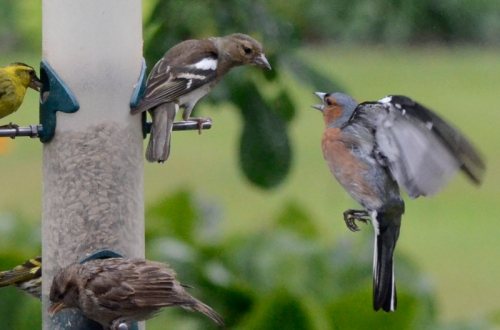 chaffinches arguing