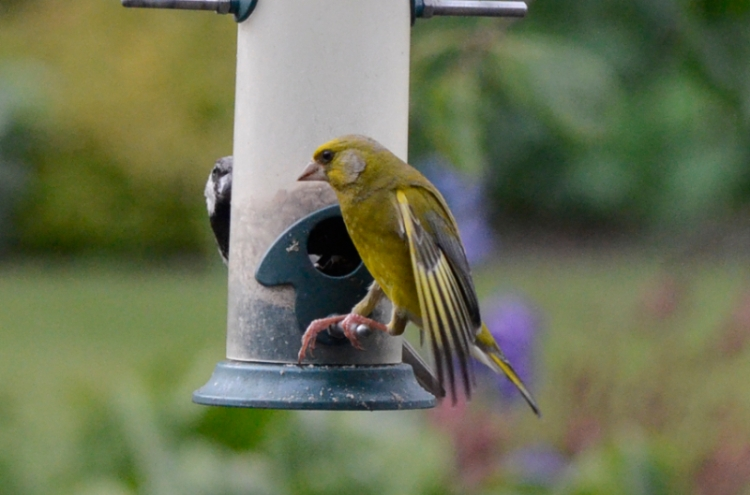 cool greenfinch
