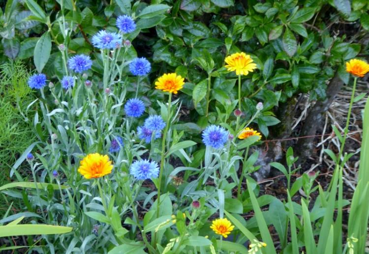 cornflower and calendula