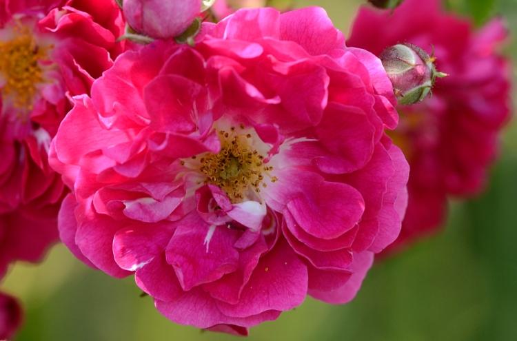 CR rose close