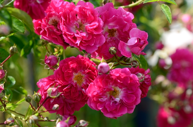 CR rose