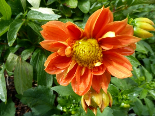 dahlia of the day