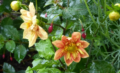 dahlias in rain