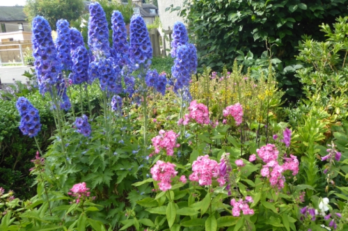 delphinium and phlox