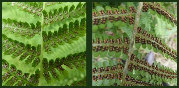 fern backs