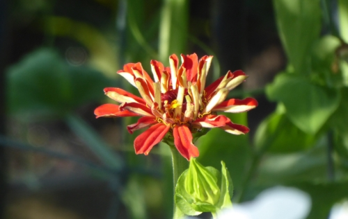 fifth zinnia