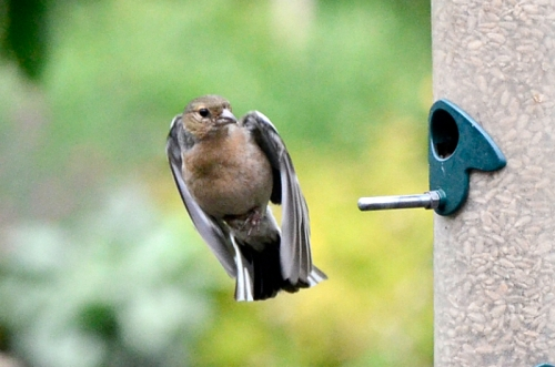 flyinch chaffinch compact