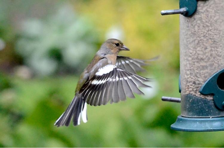 flying chaffinch at feeder