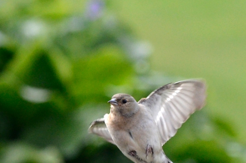 flying chaffinch mostly