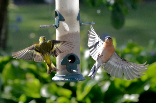 flying siskin and flying sparrow