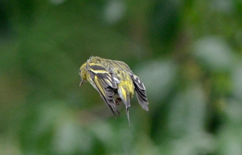 flying siskin compact