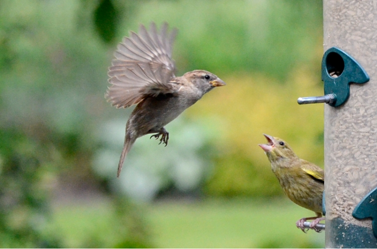 greenfinch and sparrow encounter