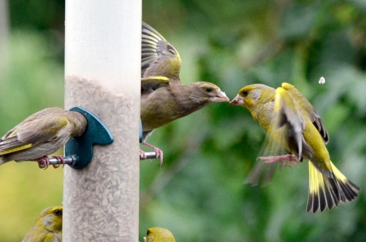 greenfinch beak to beak