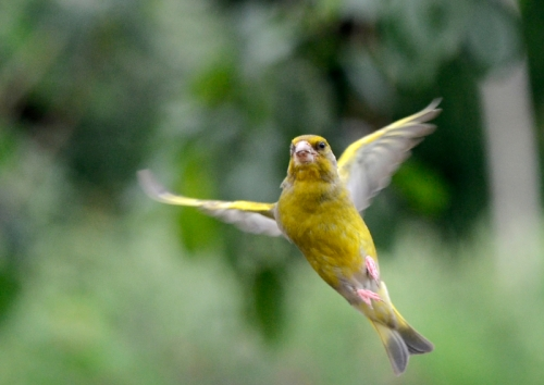 greenfinch flying off in huff