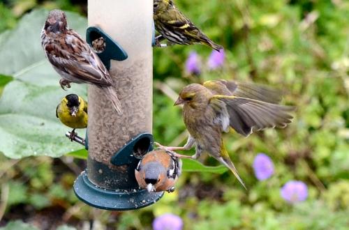 greenfinch kicking chaffinch