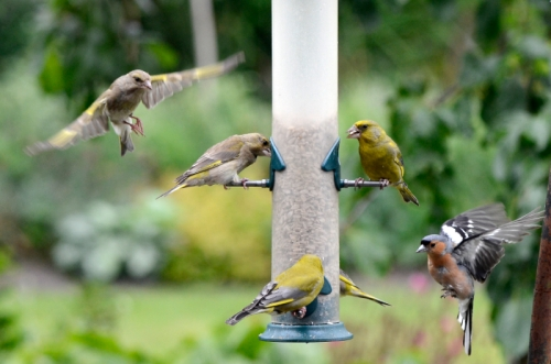 greenfinches in control