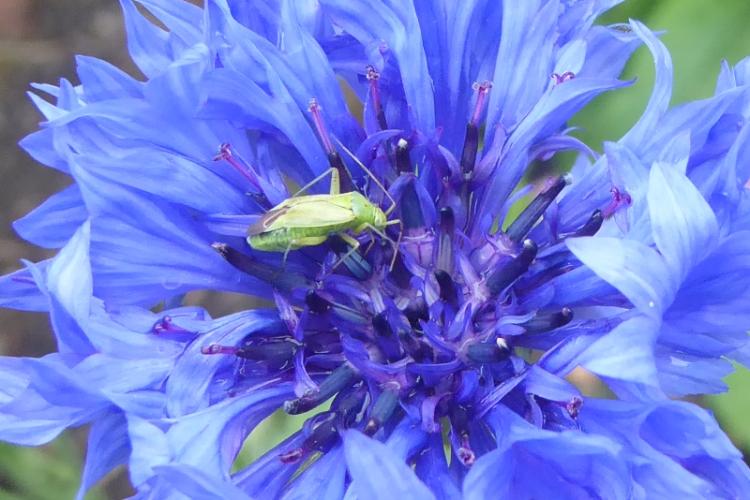 greenfly on cornflower