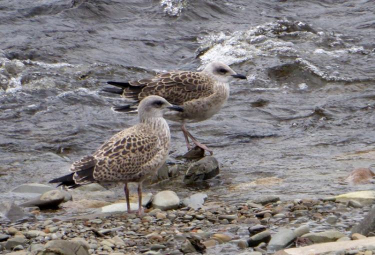 gulls on esk