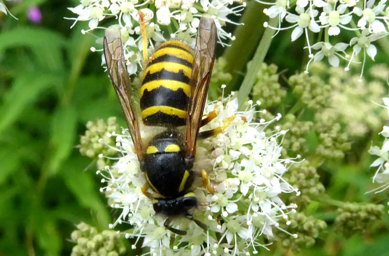 insect on umbellifer