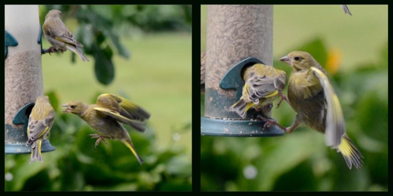 kicking greenfinches