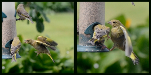 kicking greenfinches