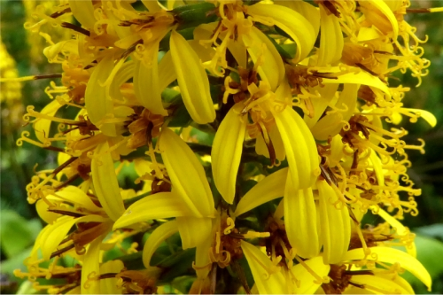 ligularia close