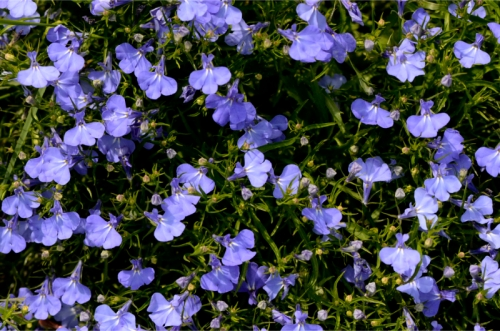 lobelia clump