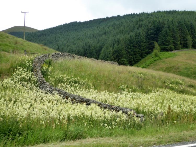 meadowsweet at Mosspaul