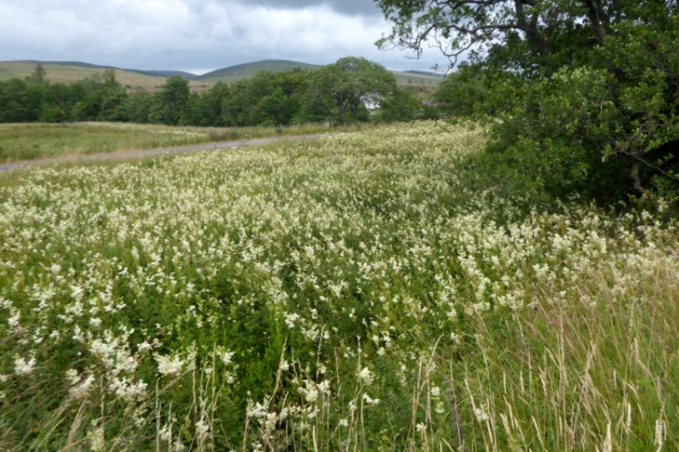 meadowsweet at wauchope Schoolhouse