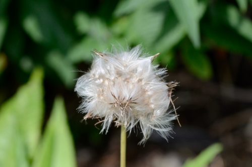 melancholy thistle seed ead