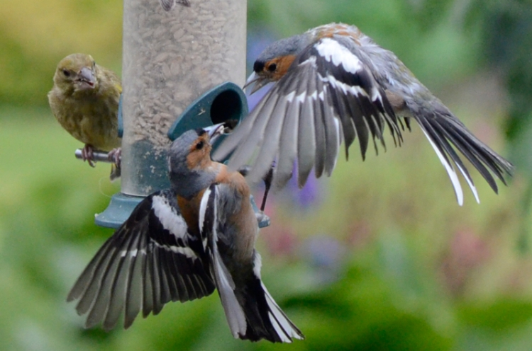 more chaffinch shouting