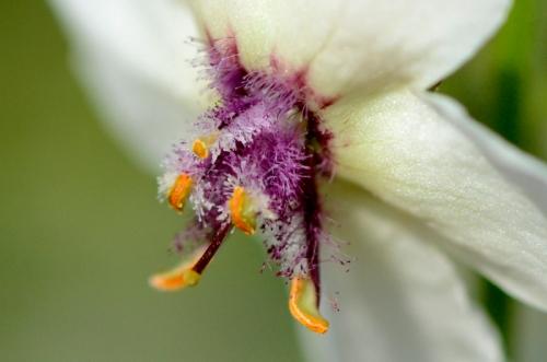moth mullein flower